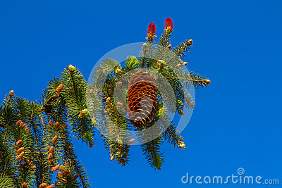 Landscape Pine branch
