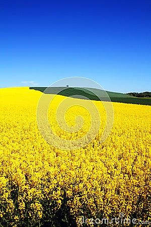 Landscape rapeseed field