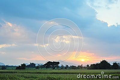 Landscape rice field  twilight