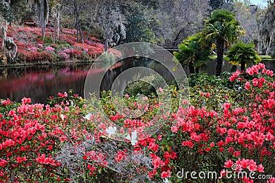 Middleton Plantation SC Azalea Garden in Bloom Editorial Photography