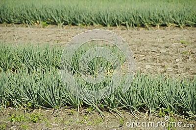 Landscape of vegetable field.