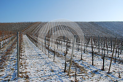 Landscape vineyard in the winter