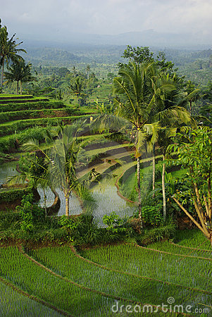 Landscape of young watered ricefields