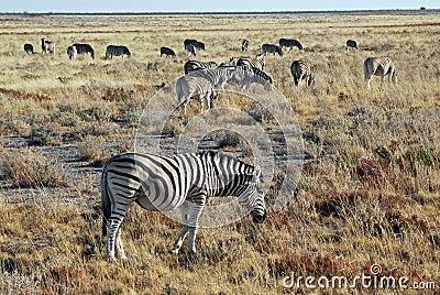 Group of plains zebras in dry grass landscapes - Etosha National Park