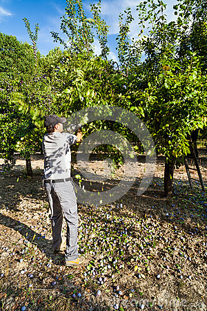 Landwirt, der hinunter Pflaumen von den Bäumen an der Ernte rüttelt