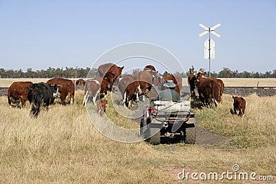 Landwirt und Vieh