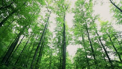 Lange groene bomen in een bos in de lentetijd stock video