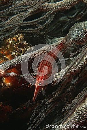 Langnasige hawkfish des Mosambik-Indischen Ozeans (Oxycirrhites-typus) auf schwarzer korallenroter (cirrhipathes SP.) Nahaufnahme