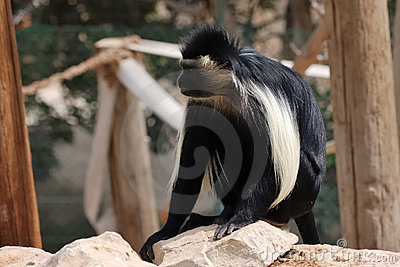 Langur Monkey. Royalty Free Stock Photos - Image: 17722638