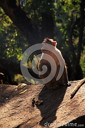 Langur Monkey, Goa, India
