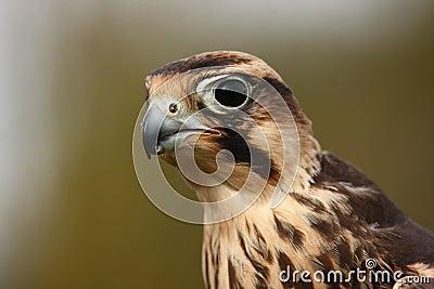 Lanner Falcon.