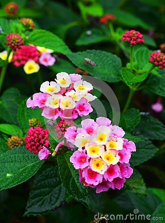 Free Lantana Camara, Cinco Negritos Flower In A Nice Garden Stock Photography - 103417742