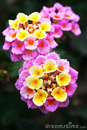 Free Lantana Flowers Stock Photo - 15766030