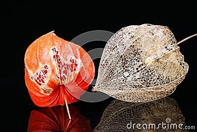 Lantern Fruits