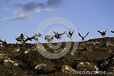 Lanzamiento de los gansos