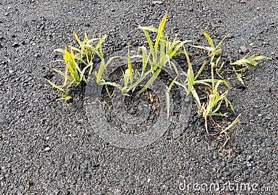 Lanzamientos jovenes de la hierba a través de la pista de despeque, asfalto