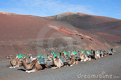 Lanzarote, dromedaries waiting for tourists