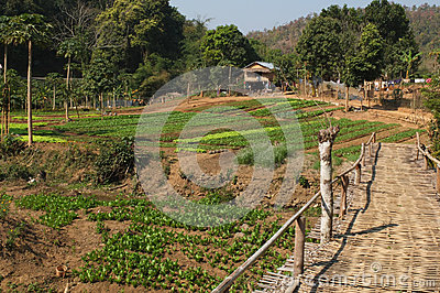 Laotian vegetable garden.