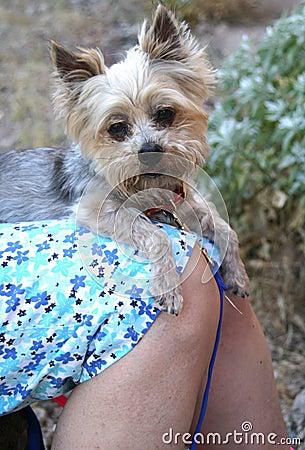 Free Lap Dog Stock Images - 120564