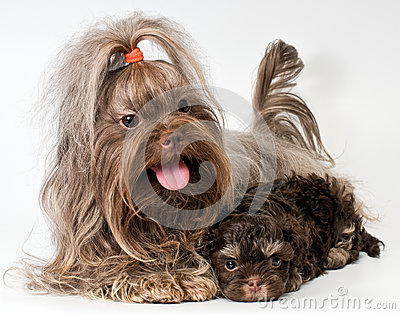 Lap Dog With Puppies Royalty Free Stock Images - Image: 25867219