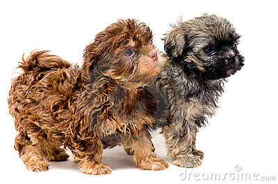 Lap-dogs in studio
