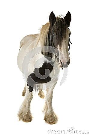 Lap paard op