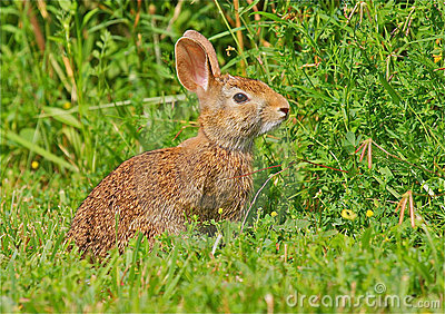 Lapin sauvage dans l herbe
