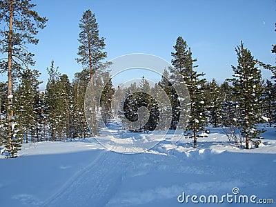 Lapland Pine Trees