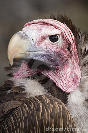 Free Lappet Faced Vulture Stock Photography - 1545532