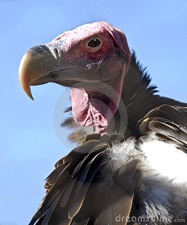 Free Lappet Faced Vulture Royalty Free Stock Photography - 6607467
