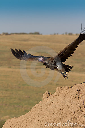 Free Lappet Faced Vulture Takes Off Stock Image - 16284871