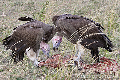 Lappet-faced Vultures scavenging.