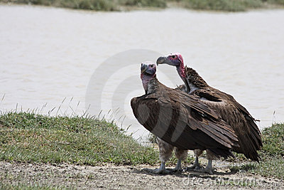 Lappet-faced Vultures in Serengeti National Park