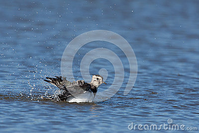 A lapwing is taking a bath