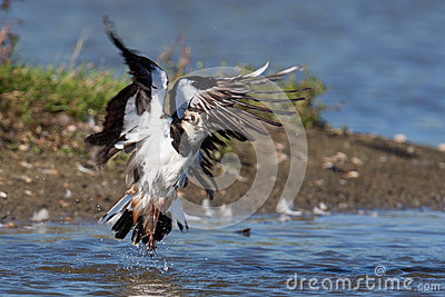 A lapwing is taking off