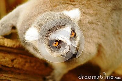 Lar gibbon,