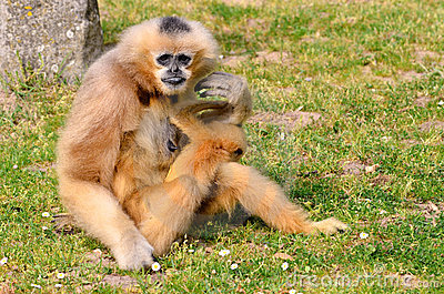 Lar gibbon with its young on grass