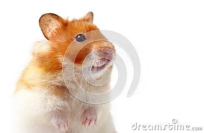 Lara o hamster