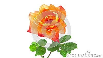 A laranja aumentou timelapse de florescência da flor vídeos de arquivo