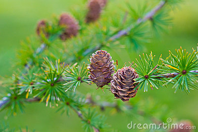 Larch cones on branch