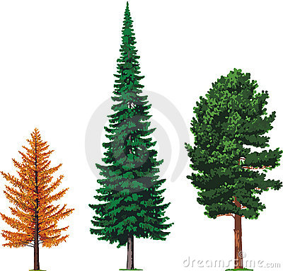 Free Larch, Fir And Cedar Trees. Vector Stock Photo - 19385140