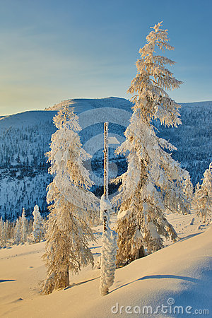 Free Larch In Snow In Mountains. Winter. A Decline. Evening. Kolyma Stock Image - 63323931