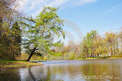 Larch on pond shore