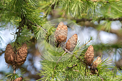 Larch tree branches with cones close