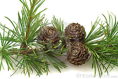 Larch tree cones on a branch