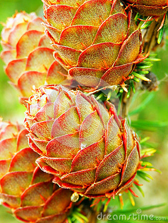 Free Larch Tree Detail And Cones Stock Photography - 45120492
