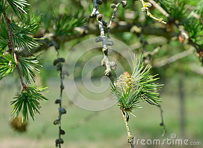 Larch Trees in woodland
