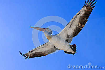 Large adult pelican in flight