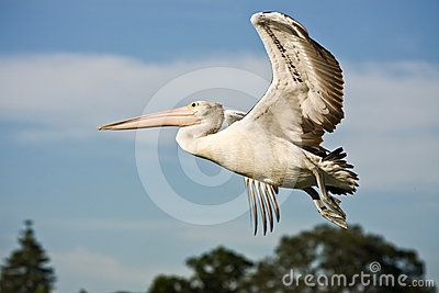 Large adult pelican in full flight