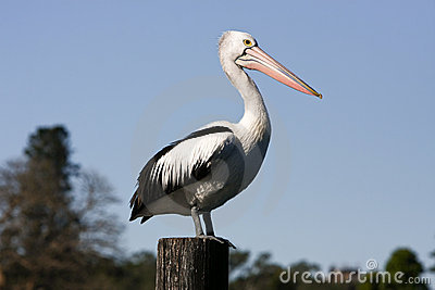 Large adult pelican standing on timber post